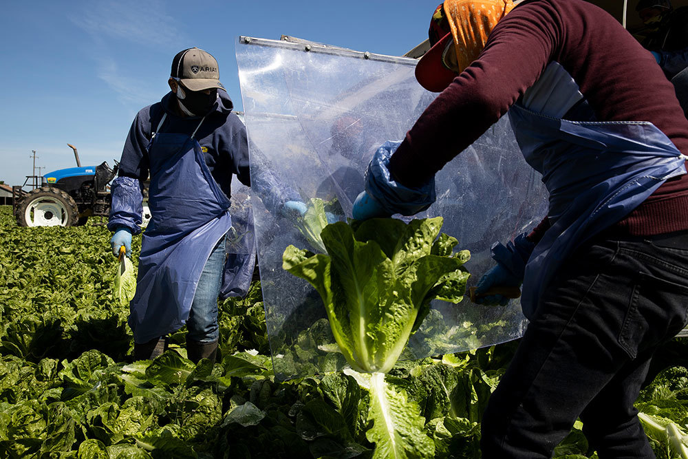 The suddenly riskier job of harvesting romaine and other food
