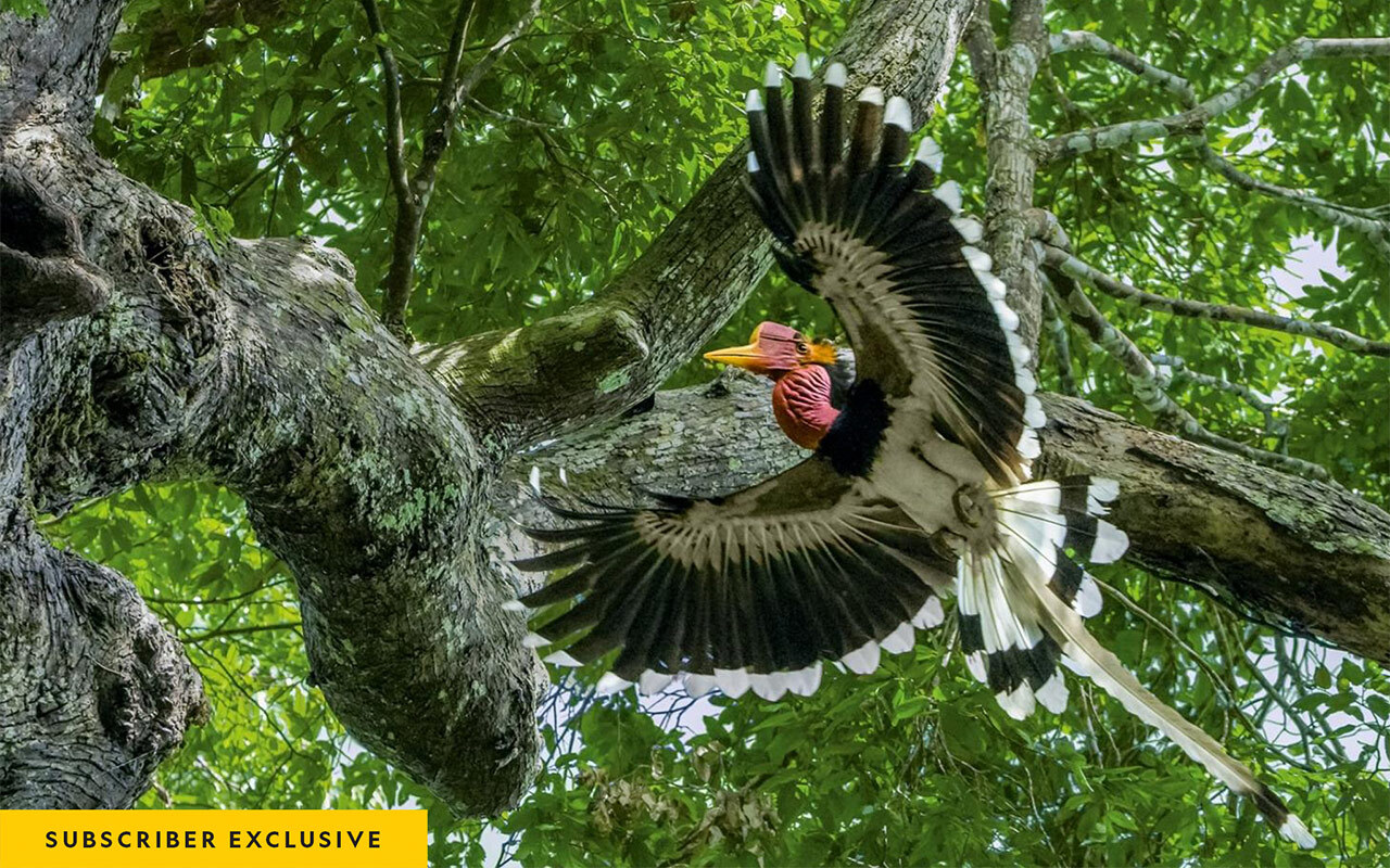 In a forest in southern Thailand, a male helmeted hornbill approaches a tree where his mate and chick have been sequestered for months, relying on him to bring food.