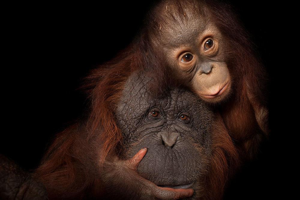 An endangered baby orangutan with her adoptive mom