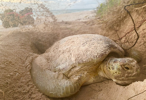 A green sea turtle in Florida covers her newly laid eggs with sand. Some researchers have found increases in successful nesting rates this year.