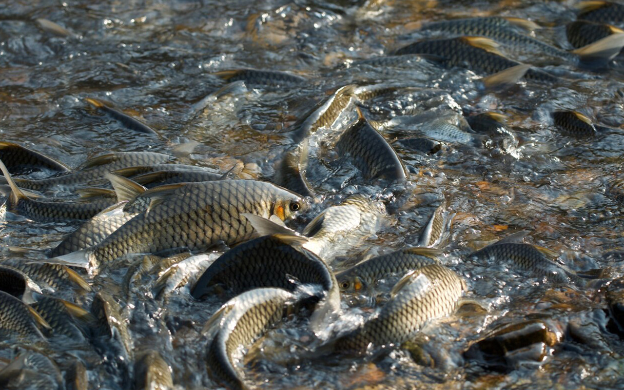This freshwater fish species, Hypsibarbus salweenensis—a type of carp— responds well to being protected in a reserve. Their reproductive success shows that even small reserves are large enough to protect some fish throughout their lifecycle.