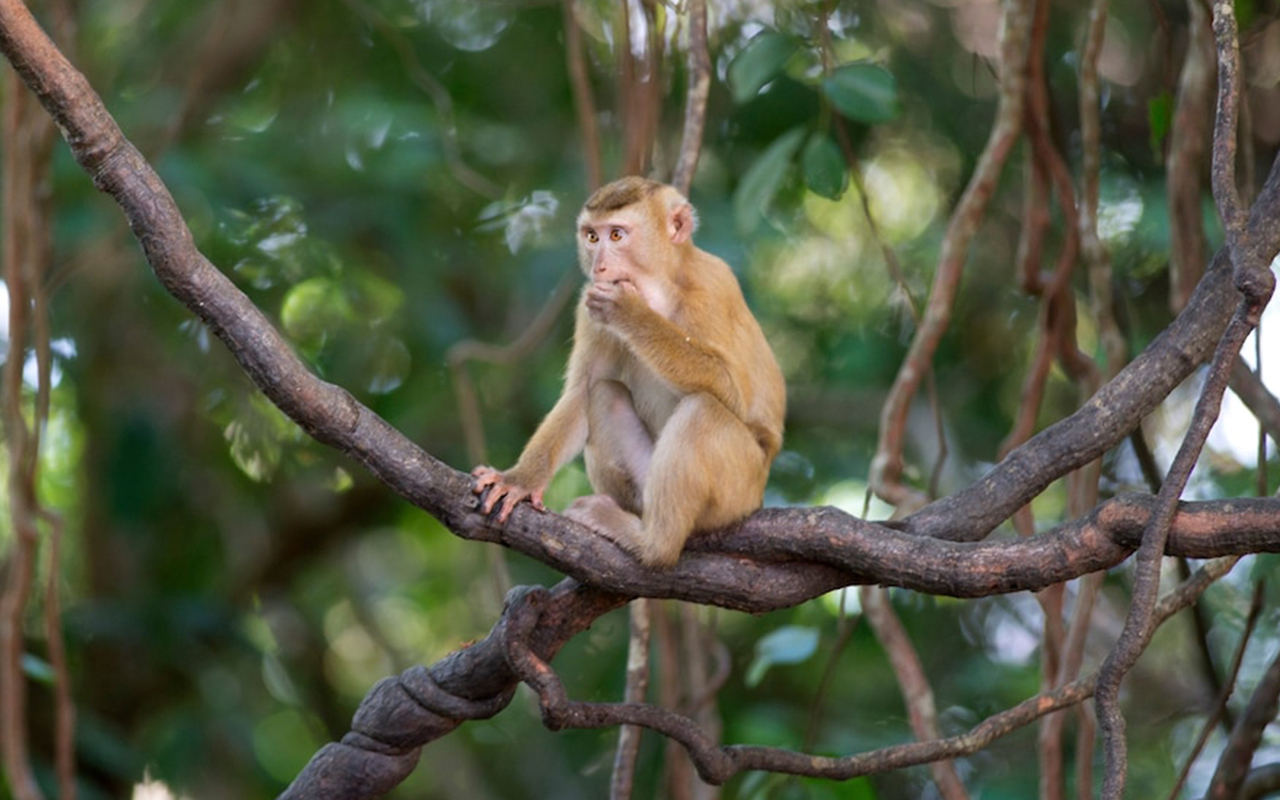 Pig-tailed macaques are trained to climb trees and pick coconuts on farms throughout southern Thailand. When they're not working, they're often kept in chains.