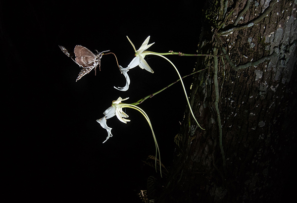 The first-ever photo showing a pawpaw sphinx moth (Dolba hyloeus) probing and likely pollinating a ghost orchid bloom, in the Florida Panther National Wildlife Refuge. It was previously thought only one species pollinated these flowers: the giant sphinx moth.