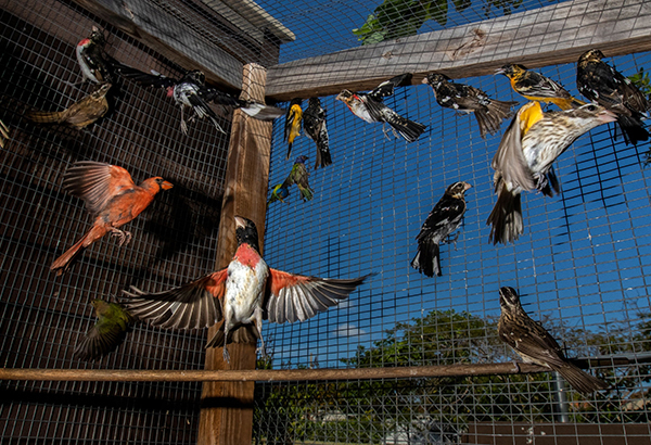 Thousands of migratory songbirds are caught around Florida each year to supply a thriving illegal market. People buy them for their beauty and to hear their songs—and perhaps in the hope they'll win big in singing competitions.
