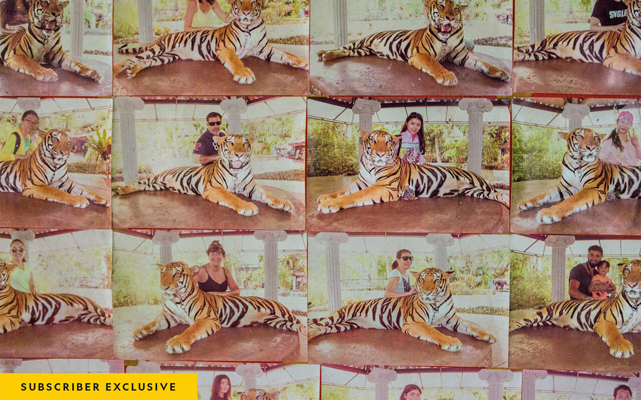 For $10, tourists can pose with this tiger at Phuket Zoo, in Thailand. Examples of souvenir photos are displayed here on a poster board. The tiger is held by a short chain and can't stand up. Tigers may be declawed, or even drugged, to protect people around them.