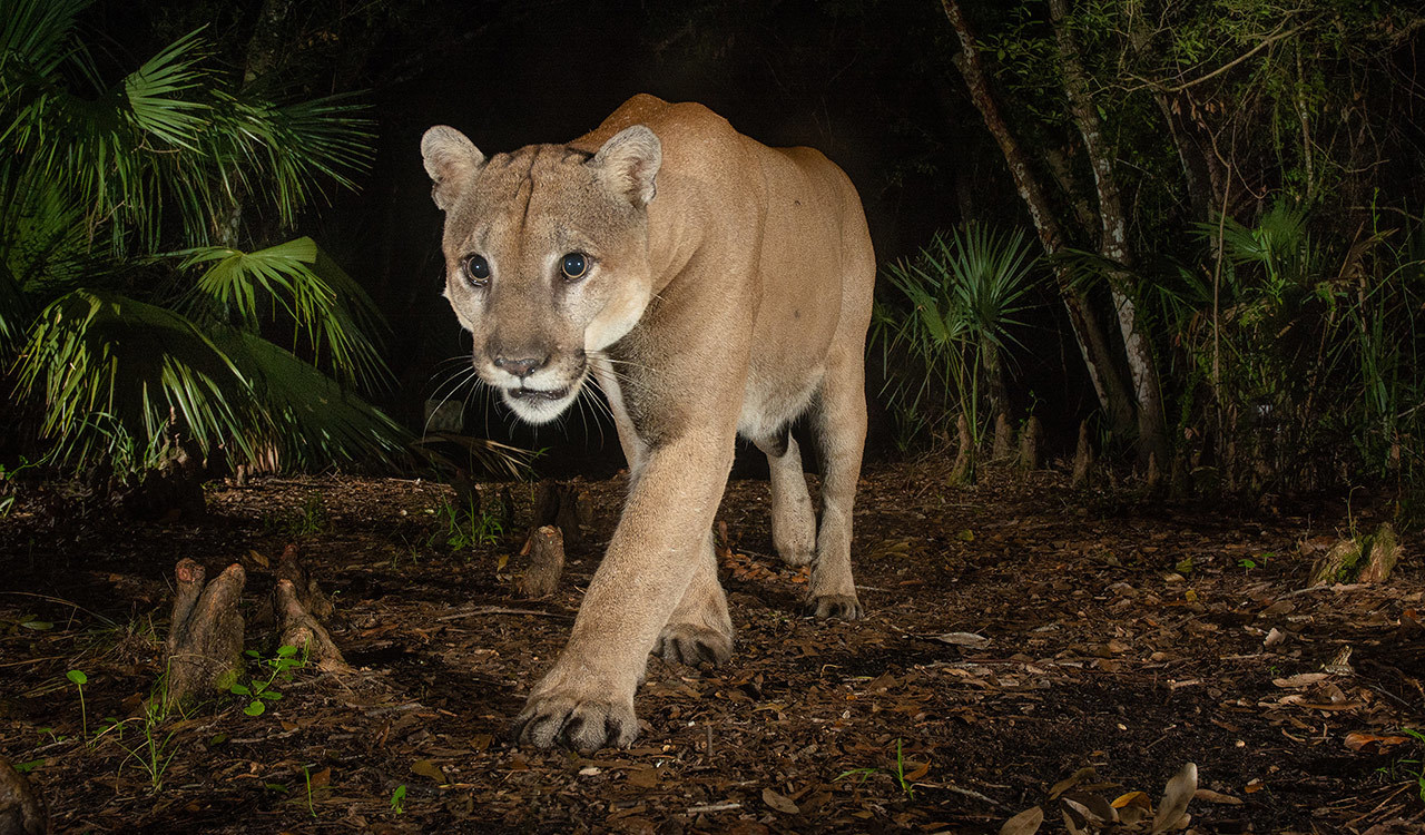 A male Florida panther in Babcock Ranch State Preserve. Males have home ranges of up to 200 square miles and will defend their turf against other males in deadly fights.