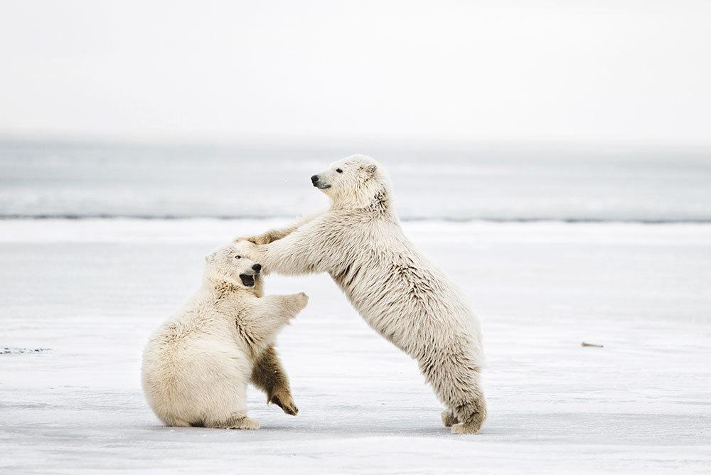 Playful polar bear cubs in Alaska