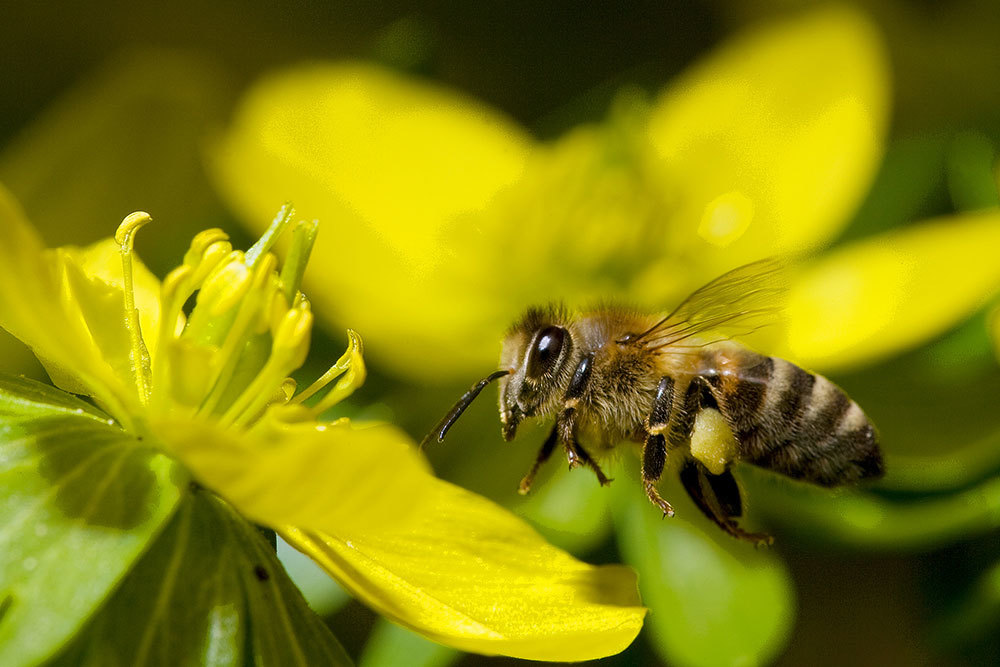 Counting is vital to honeybees