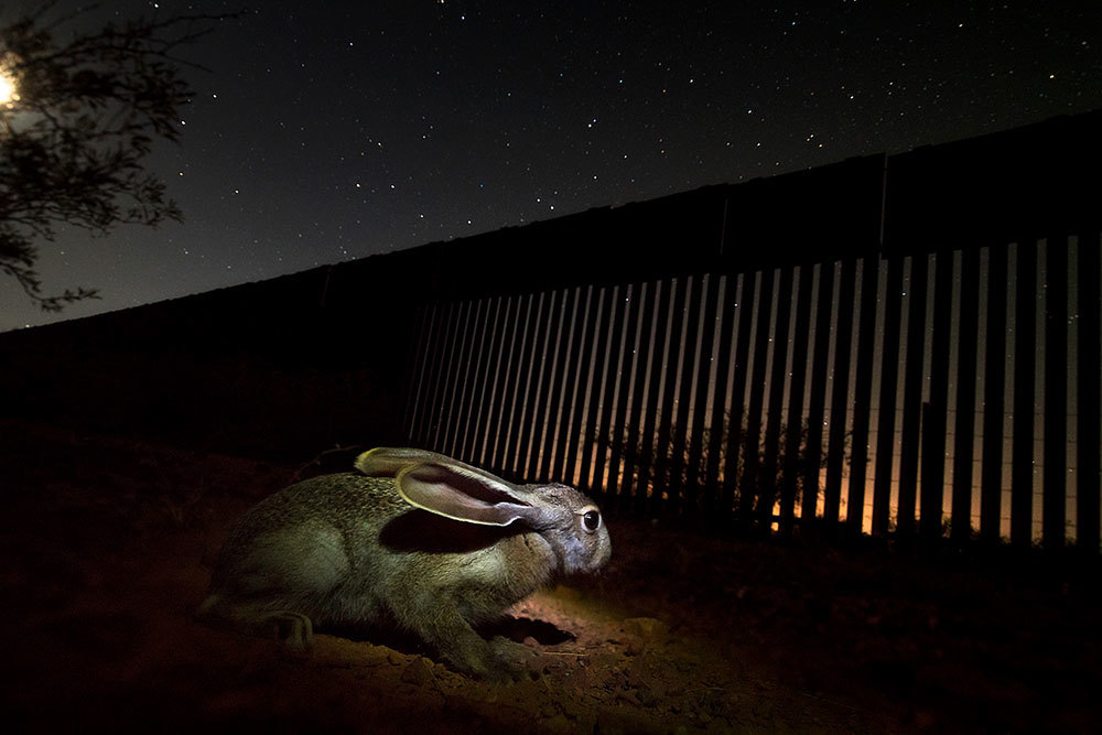 This type of hare is an important food element for the jaguars in this region straddling the U.S.-Mexico border